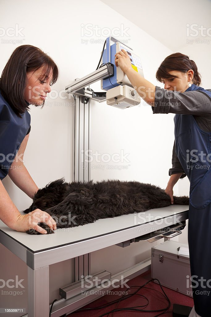 veterinarian preparing dog for x-ray royalty-free stock photo