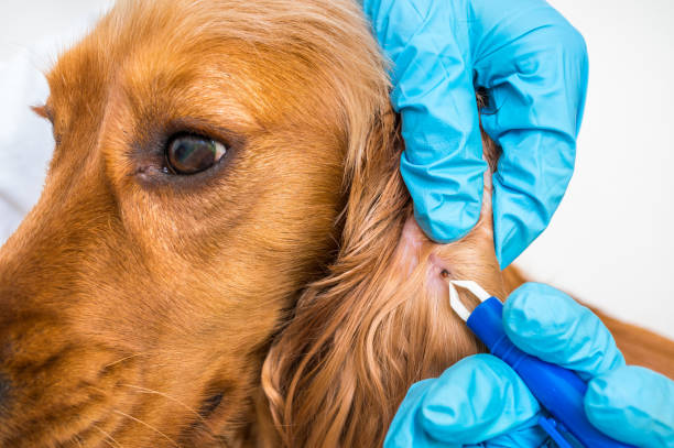 Veterinarian removing a tick from the Cocker Spaniel dog stock photo