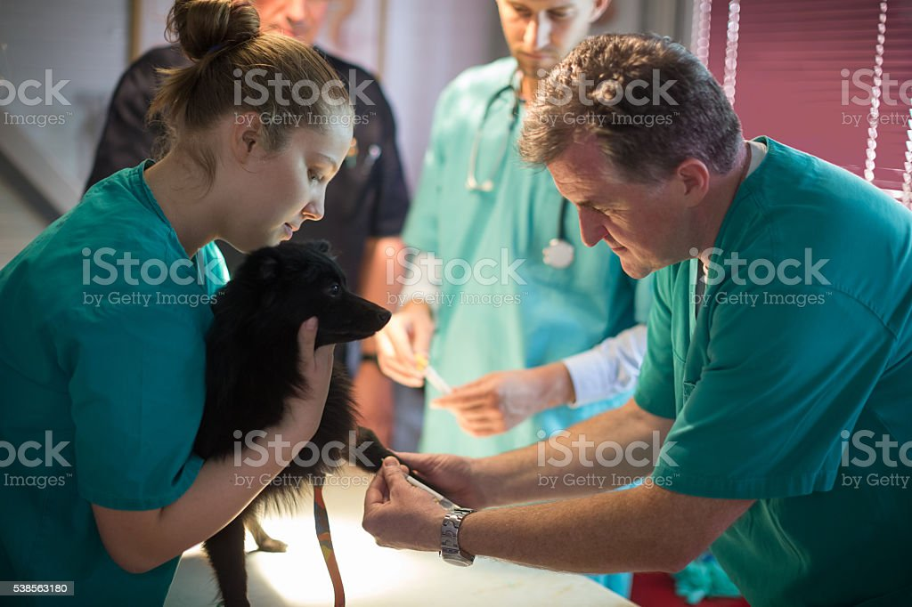 Veterinarian taking blood sample stock photo