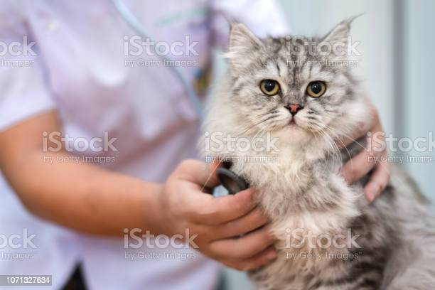 Veterinarian use stethoscope to diagnose cute cat for treat sick in picture id1071327634?b=1&k=6&m=1071327634&s=612x612&h=sgutgl pev9tbiji5o396sbi3ybwfjgshhqhy8bue2c=