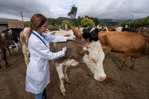Latin American female veterinarian vaccinating a cow at a livestock farm - lifestyle concepts