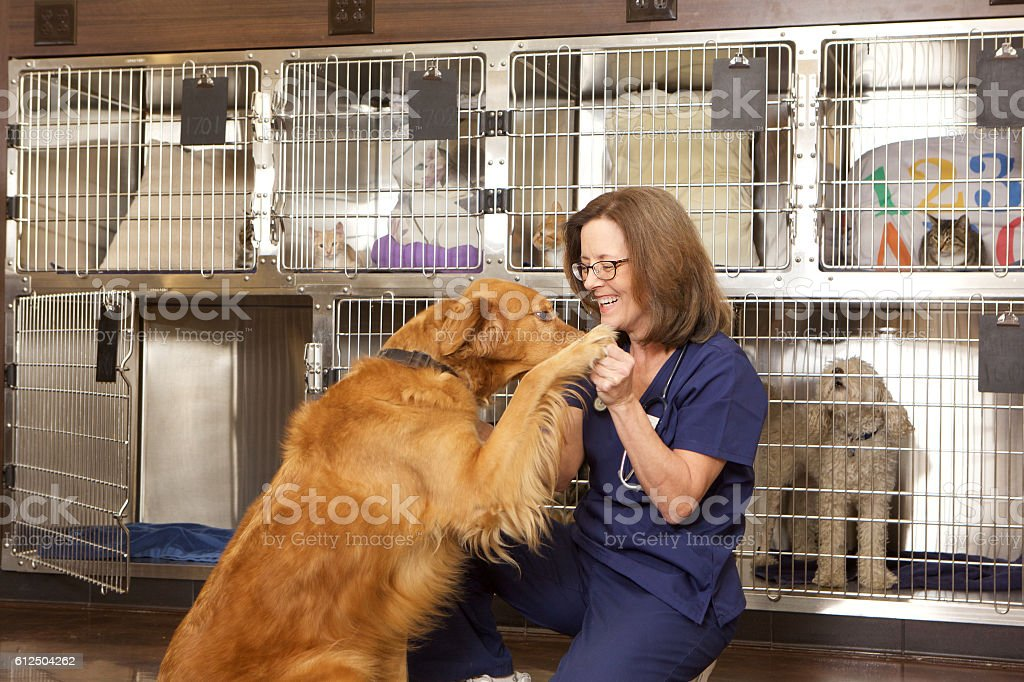 Veterinarian With a Golden Retriever Dog in her Office stock photo
