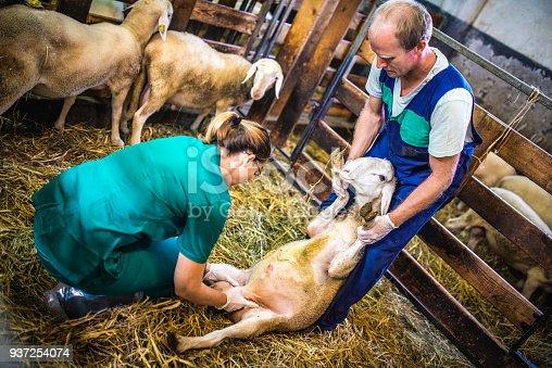 istock Veterinarians examining sheep in barn 937254074