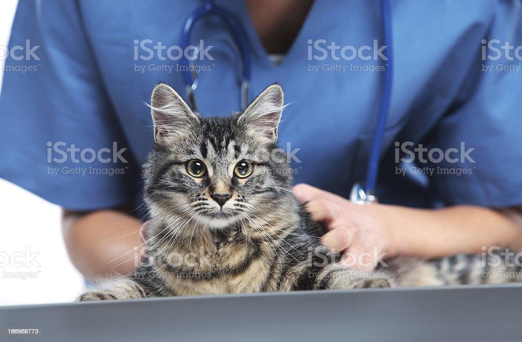 獣医ケアのかわいい猫 ストックフォト
