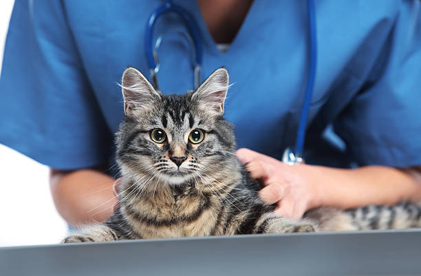 Veterinary caring of a cute cat Close up shot of veterinarian making a checkup of a cute beautiful cat animal hospital stock pictures, royalty-free photos & images