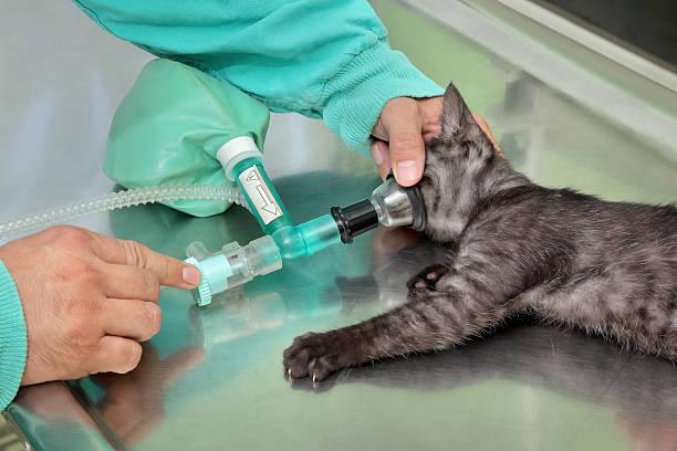 Tierärztliche, Katze Chirurgie – Foto