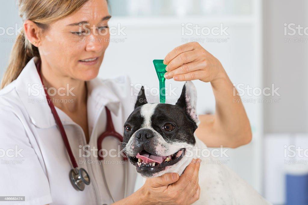 Veterinary clinic with a French bulldog stock photo