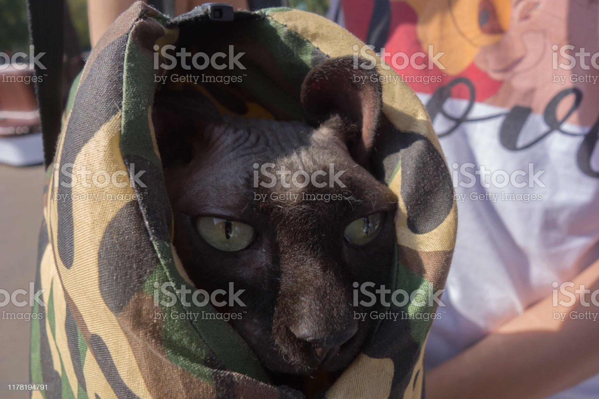 Кот сфинкс у ветеринара