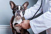 Veterinary doctor examing heart of dog boston terrier with stethoscope portrait