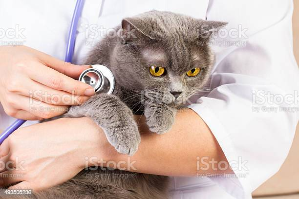 Veterinary doctor holding british cat and stroking the head picture id493505236?b=1&k=6&m=493505236&s=612x612&h=veer1ctfc099ha8dm30hv1fyizbq56zkhnafmc60xxs=