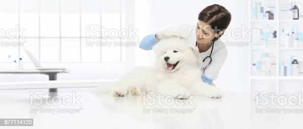 Veterinary examination dog veterinarian checks the ears dog on the picture id877114120?b=1&k=6&m=877114120&s=612x612&h=hlytpi cazbnhkbquzv1 u4dircsp6ntiawqevhsyaw=
