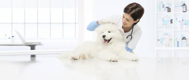 Veterinary examination dog veterinarian checks the ears dog on the picture id877114120?b=1&k=6&m=877114120&s=612x612&w=0&h=w jkd7tyh6kgbtxejahnq9y ekno nqpc2ovqqffopg=