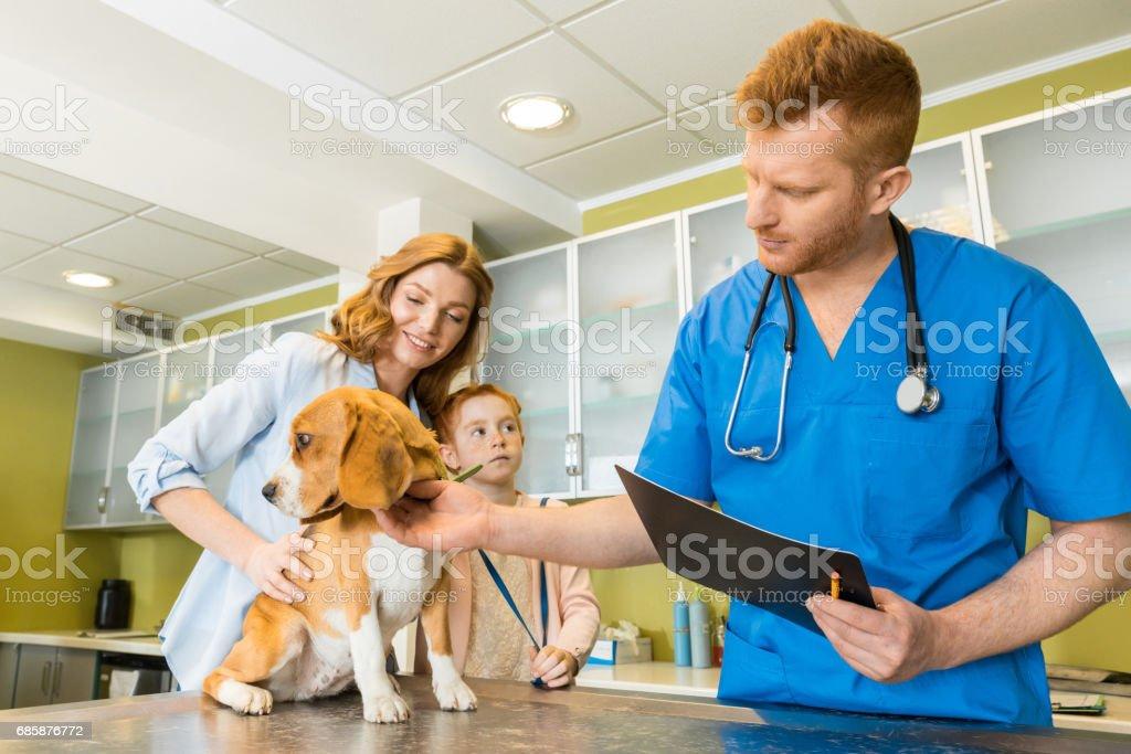 Veterinary examining Beagle dog at cliniс stock photo