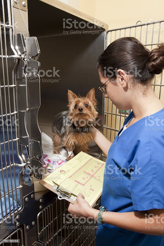 Veterinary Intensive Care Technician Exams Yorkie royalty-free stock photo