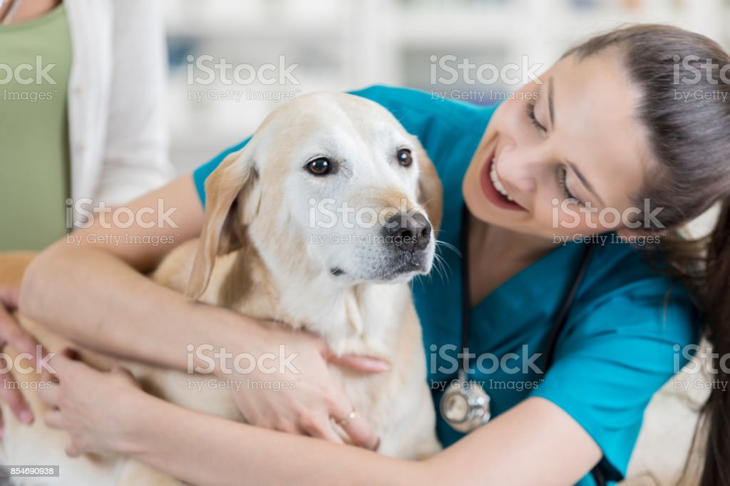 Veterinary nurse hugs and speaks to yellow lab patient stock photo