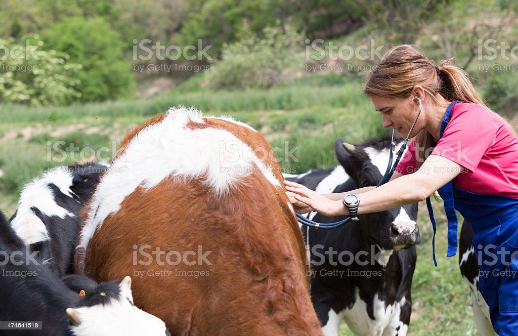 Veterinary on a farm - Royalty-free 2015 Stock Photo