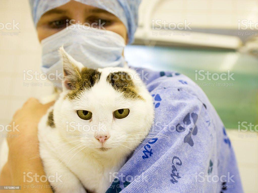 Veterinary surgeon holding a cat royalty-free stock photo