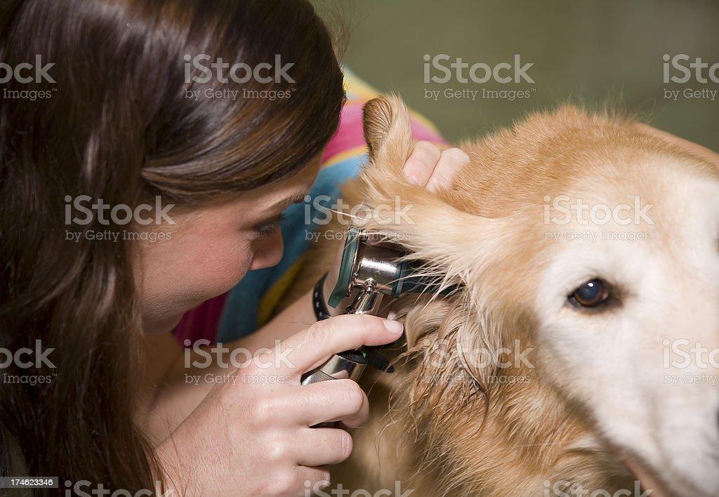 Veterinary Technician Checks Rescued Golden Retriever's Ear royalty-free stock photo