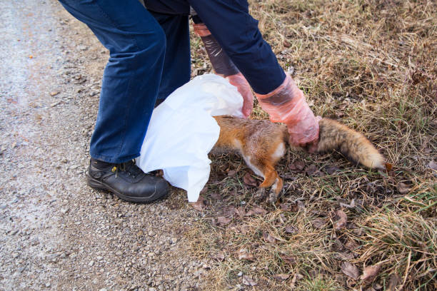 Veterinary technician collects a dead fox stock photo