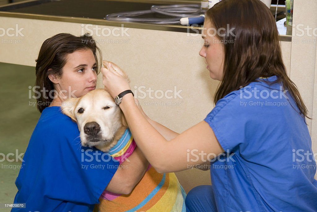 Veterinary Technicians Clean Rescued Golden Retriever's Ears stock photo