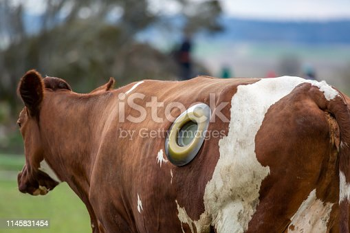 Veterinary treatment of cattle. Outdoor back view of brown and white cow with a rumen fistula hole on the side due to indigestion issue. Horizontal composition.
