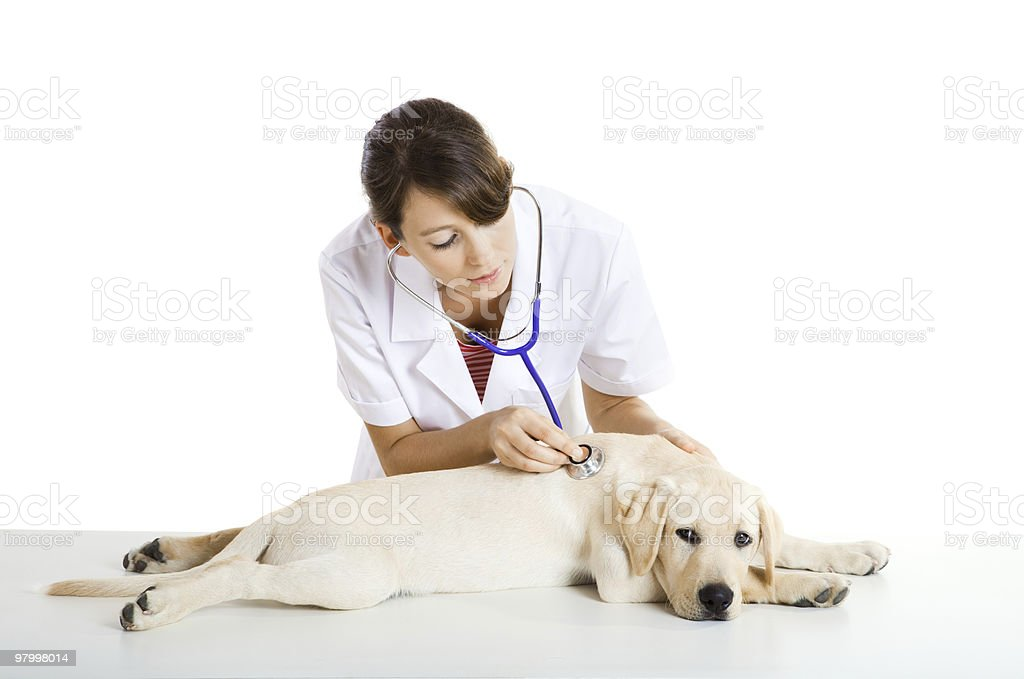 Veterinay Taking Care Of A Dog Stock Photo - Download Image