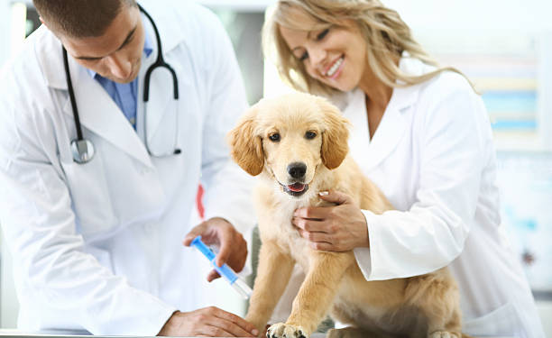 Vets giving shot to a puppy. stock photo