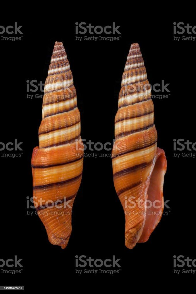 vexillum vulpecula/Little Fox Mitre - Royalty-free Animal Shell Stock Photo