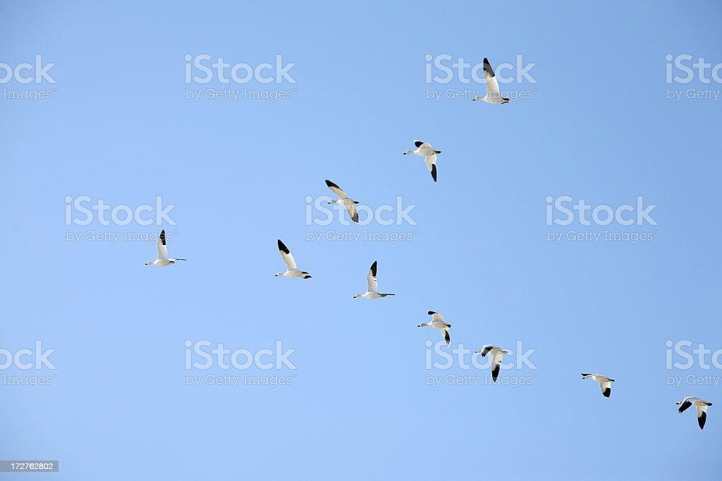 V-formation royalty-free stock photo