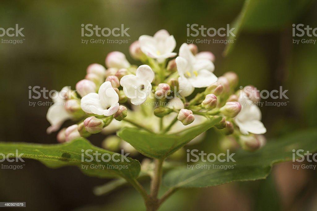 Vibernum Flowers Close Up in Spring stock photo