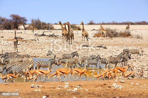 Very busy waterhole in Etosha teeming with Giraffes, zebras, springbok