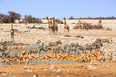 Very busy waterhole in Etosha teeming with Giraffes, zebras, springbok