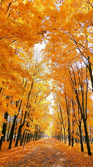 istock Vibrant alley of golden maple trees in the autumn campus of Moscow university 1055182400