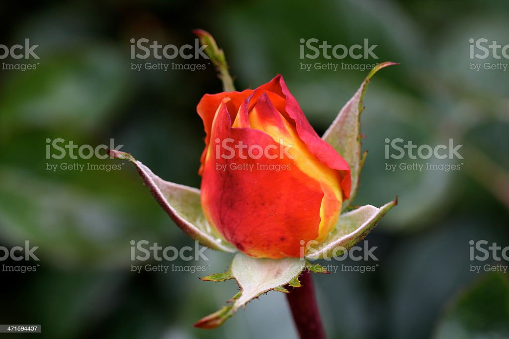 Vibrant and Bright Red Yellow Rose royalty-free stock photo