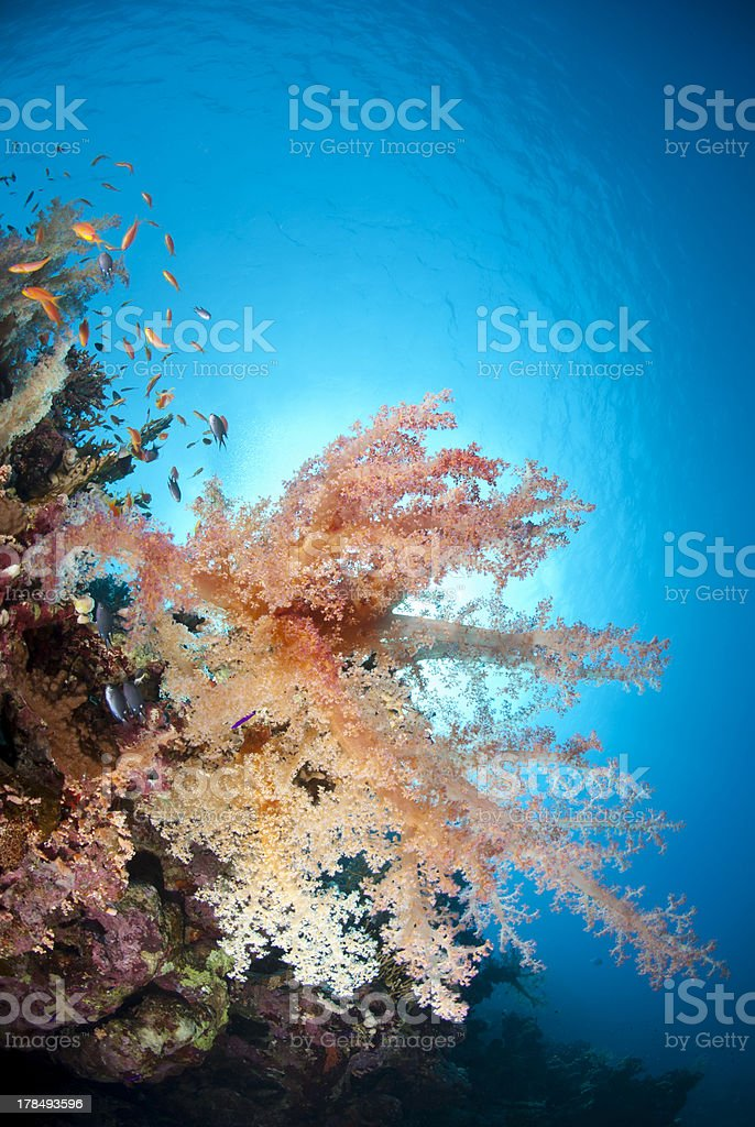 Vibrant and colourful underwater tropical soft coral reef scene. royalty-free stock photo