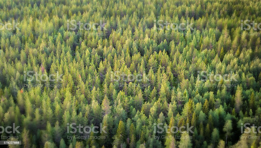Vibrant Background of Spruce Forest stock photo