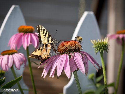 Four light purple Coneflowers in front of two white picket fence posts with a honey bee and an Eastern Tiger Swallowtail Butterfly sharing the top of the center flower head indifferent to each other while they collect nectar from the bloom on a bright sunshine day.