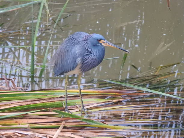 Vibrant blue and purple tricolored heron in its habitat stock photo