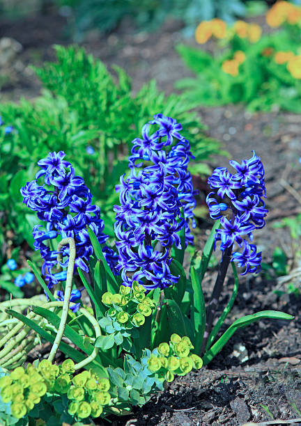 Vibrant Blue Hyacinths growing in a garden Highly fragranced Blue Hyacinths growing naturally in a flower bed annually stock pictures, royalty-free photos & images