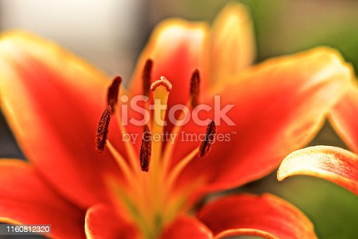 Vibrant bold color of a Lily,flower close-up, nature,pantone