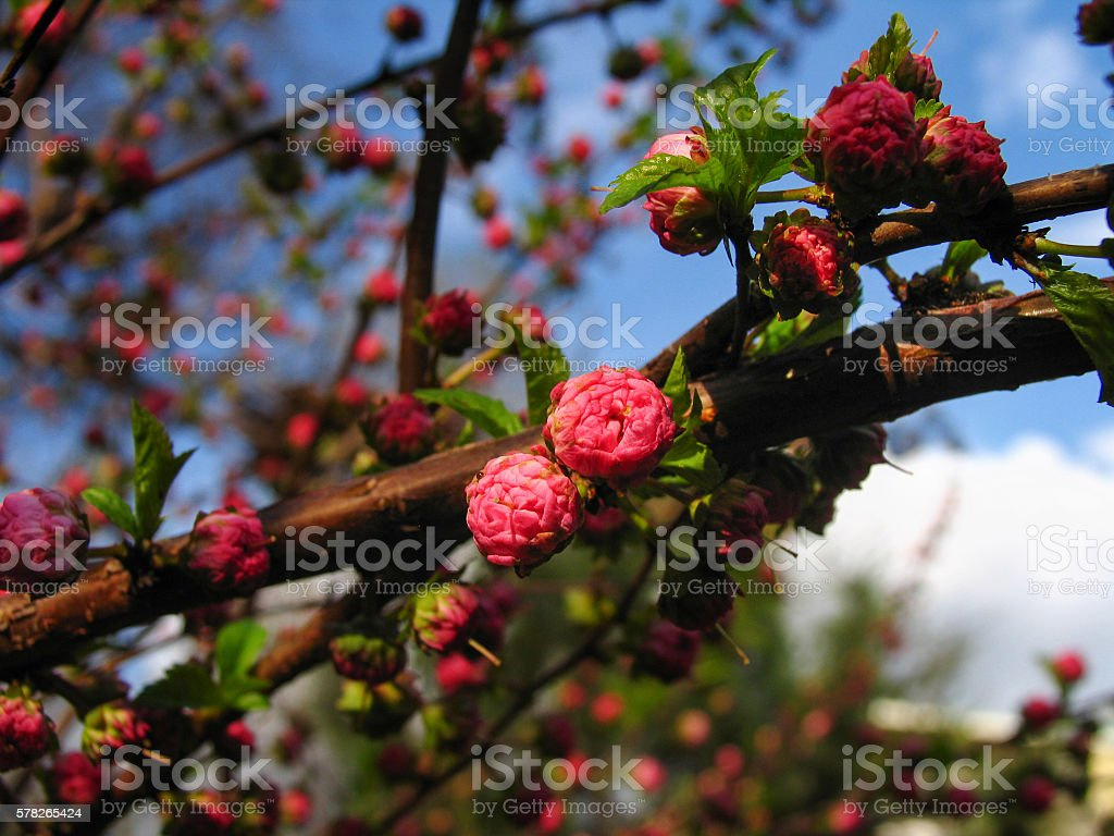 Vibrant branch with blossoming  buds of pink bush louiseania stock photo