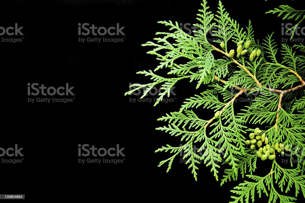 Vibrant cedar leaf with pine needles on black background. royalty-free stock photo