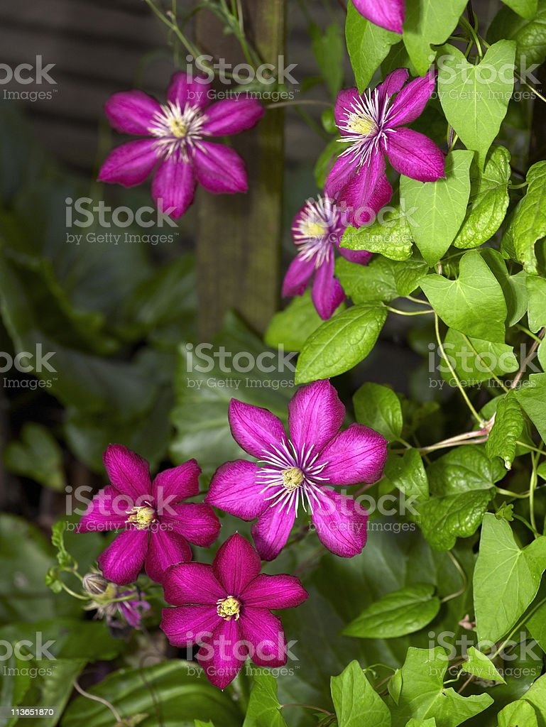 vibrant Clematis flowers royalty-free stock photo