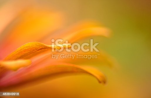 A macro photograph of a vibrant yellow and pink zinnia flower
