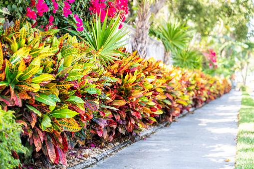 Vibrant codiaeum variegatum, petra croton, variegated plant leaf, leaves, landscaped garden, landscaping wall, outside, outdoor street, green grass, road, street sidewalk in tropical Florida keys