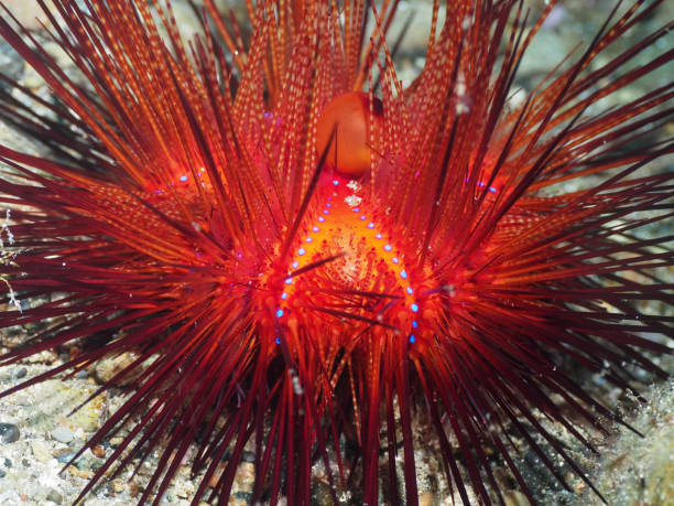Vibrant Color Fire Urchin (Astropyga radiata) stock photo