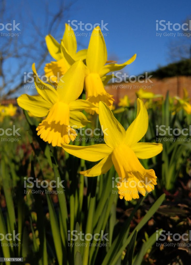 Vibrant daffodil flowers at spring stock photo