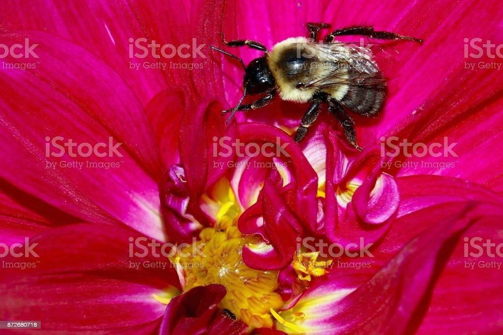 Vibrant Dahlia and Bumblebee stock photo