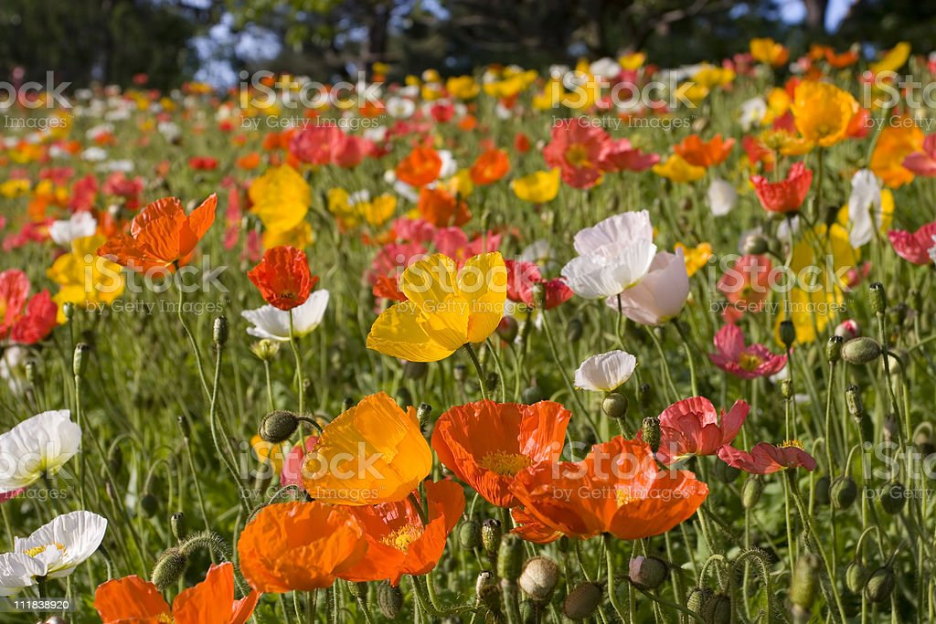Vibrant field of wildflowers-poppies royalty-free stock photo
