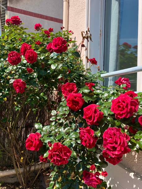 A vibrant fresh rose bush. stock photo